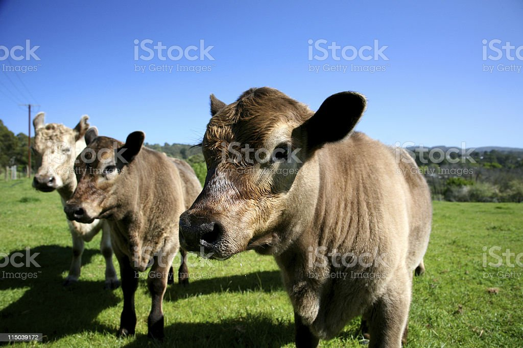 Cow and two calves royalty-free stock photo