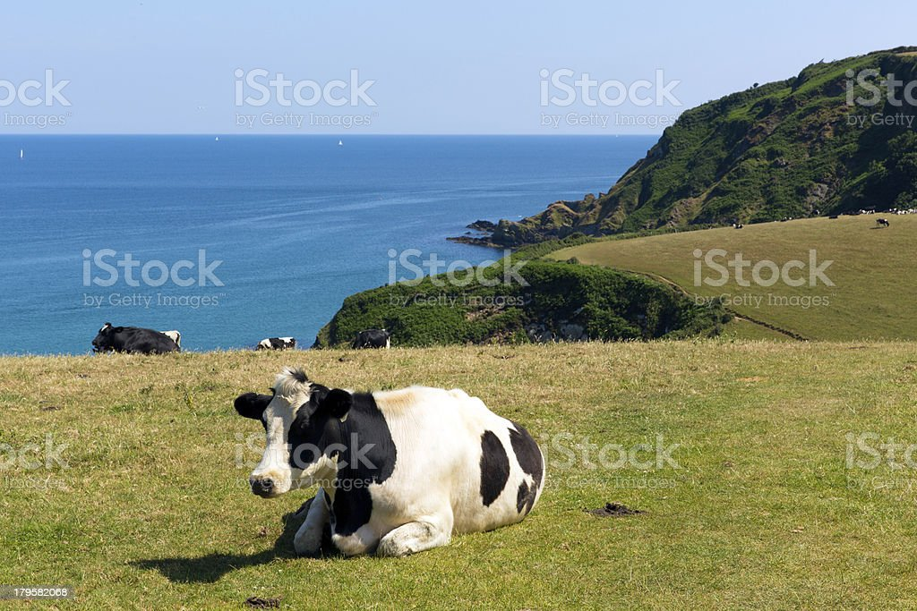 Cow and view of Cornish coast in Cornwall royalty-free stock photo