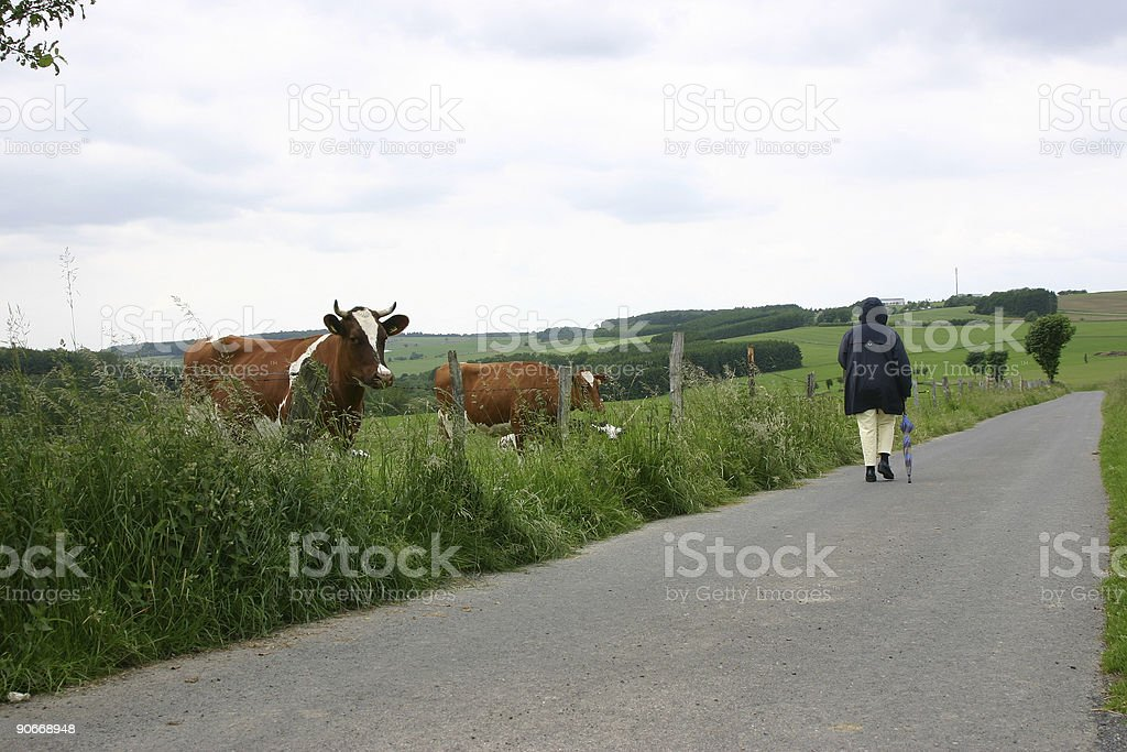 Cow and Walker stock photo
