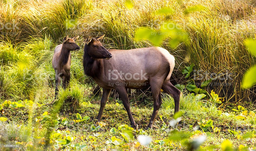 Cow and young elk in meadow stock photo