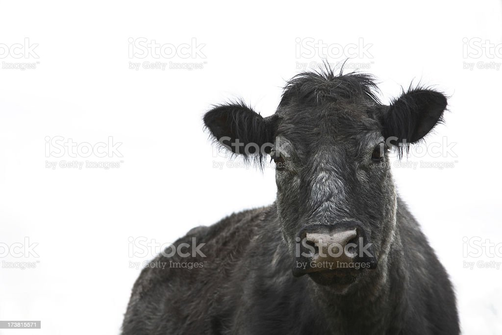 Cow Angus Cattle stock photo