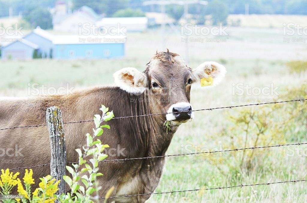 Cow at Fence royalty-free stock photo