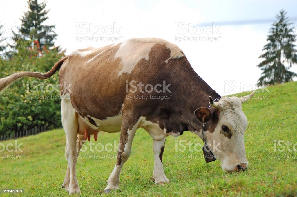 Cow at meadow stock photo
