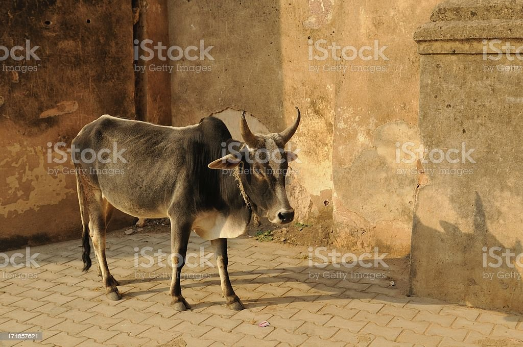Cow at temple entrance royalty-free stock photo