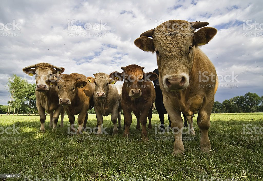 Cow Attack stock photo