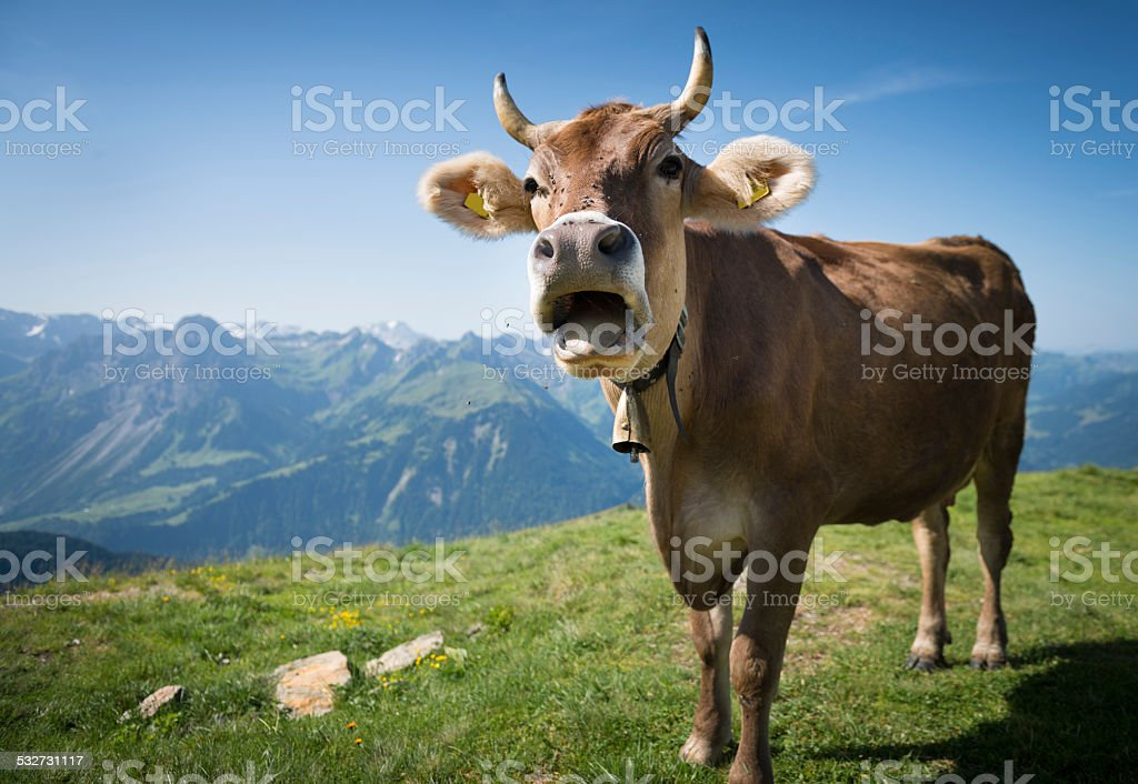 Cow, Austria, Bregenzerwald stock photo