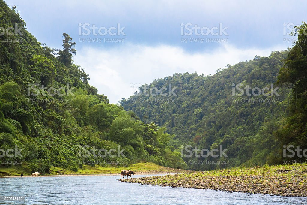 Cow Bathing in River stock photo