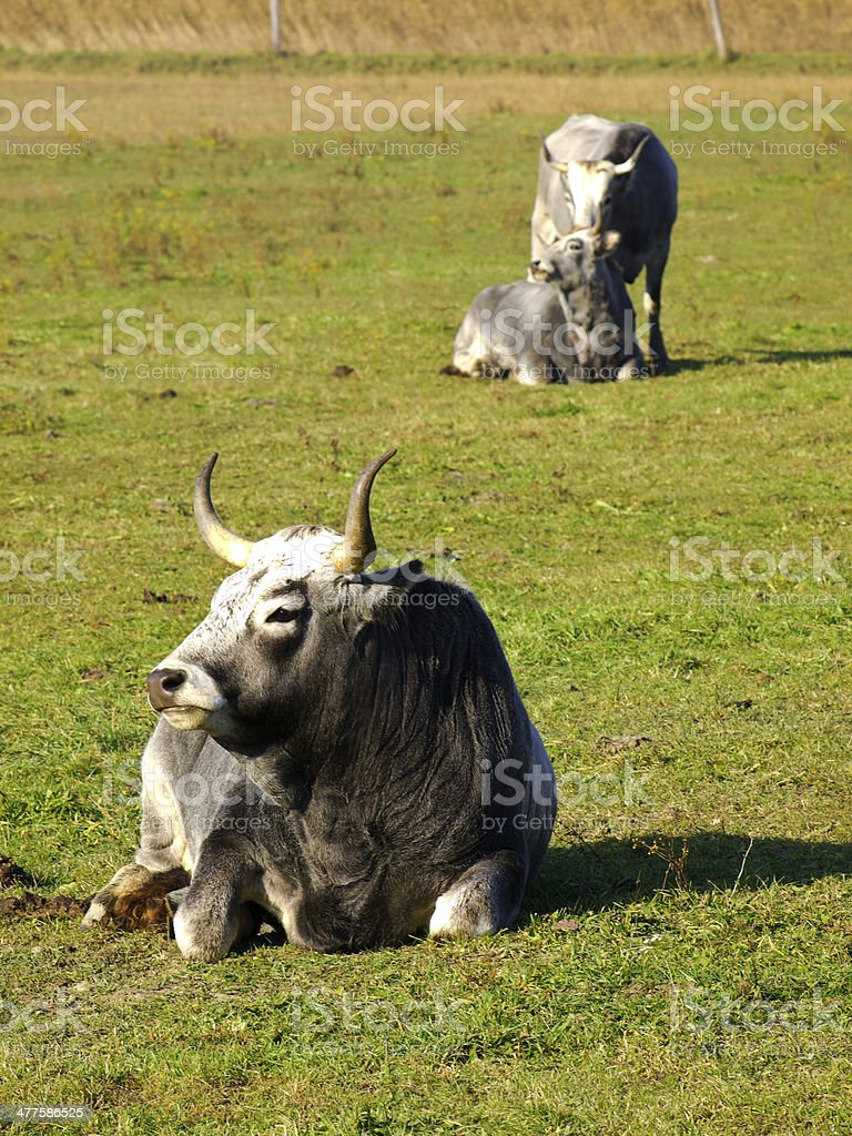 Cow Boskarin royalty-free stock photo