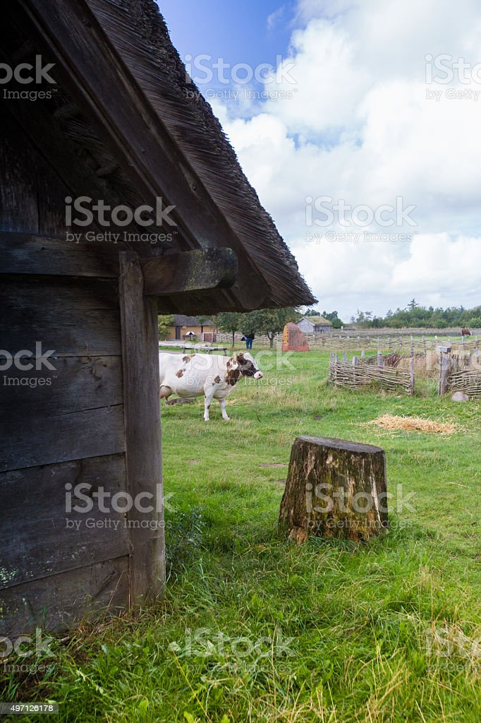 Cow by a Barn stock photo