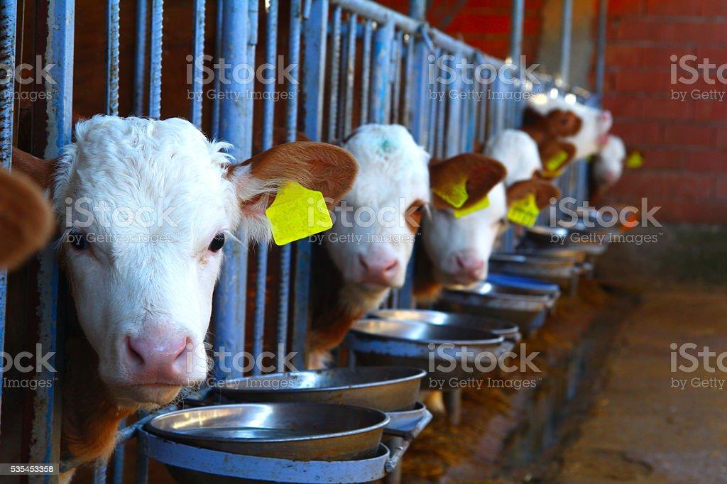 Cow, calf stock photo