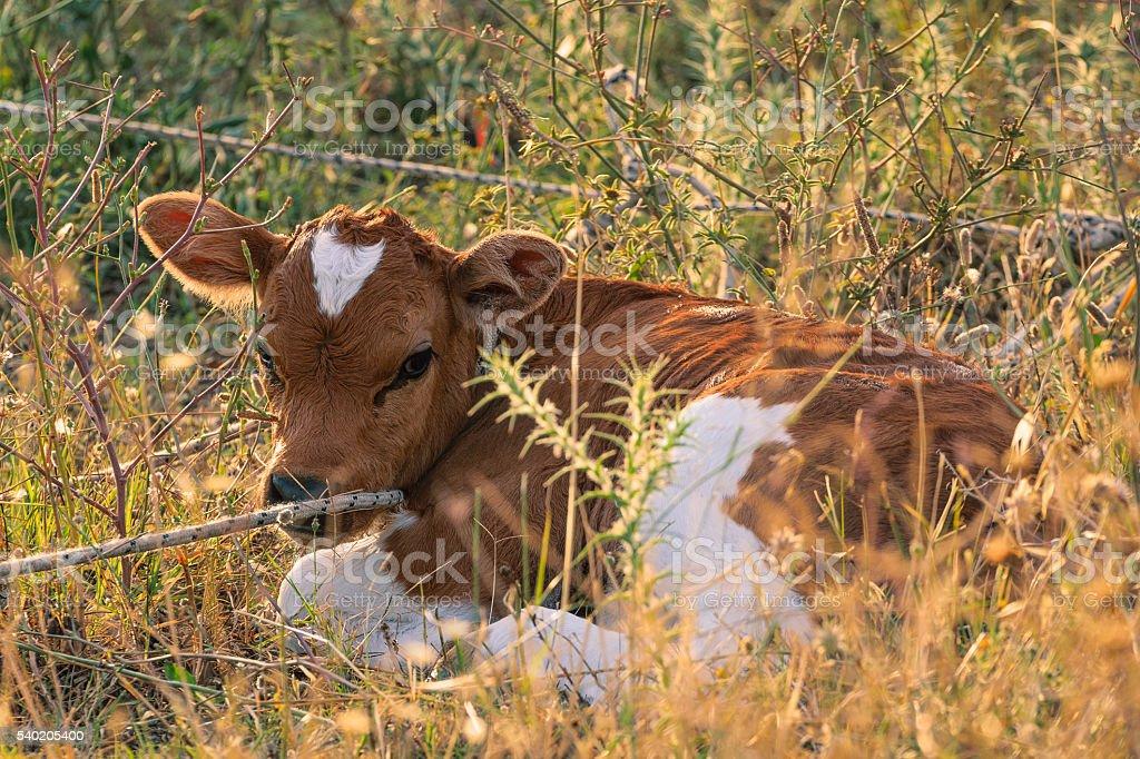 Cow calf. stock photo