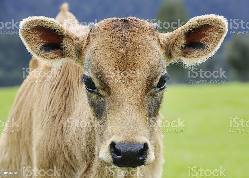 Cow Calf Portrait (XXXL) royalty-free stock photo