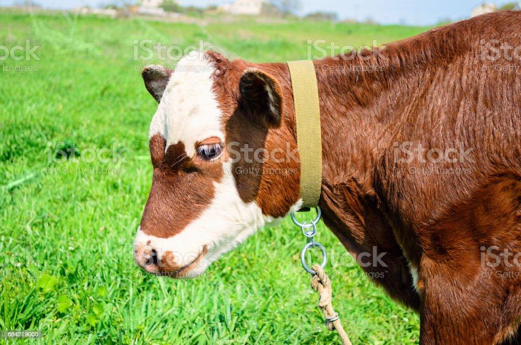 Cow calf standing in a field with green grass. Farming concept. Calf head. stock photo