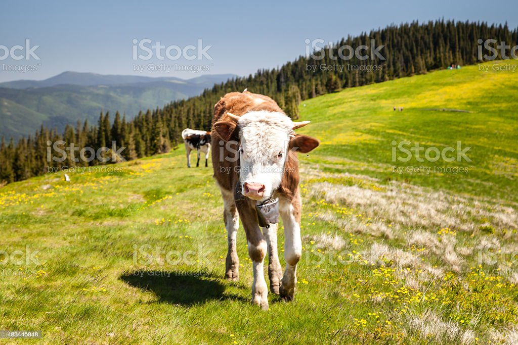 Cow Cath Loitering on Green Pasture Meadow stock photo