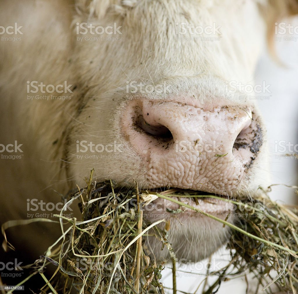 Cow chew stock photo