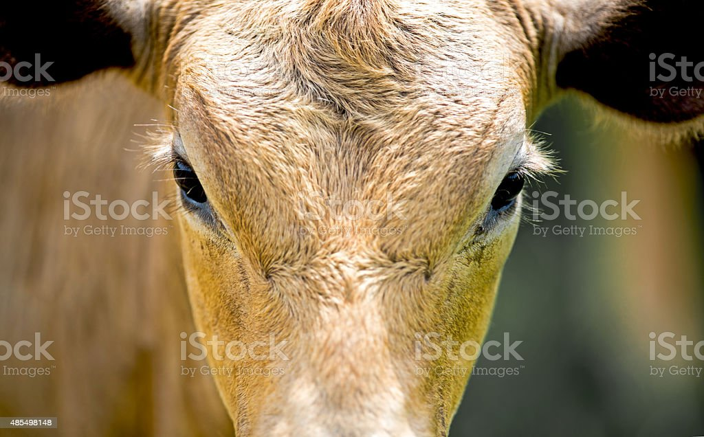 Cow close up stock photo