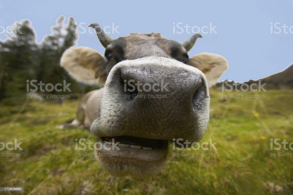 cow closeup royalty-free stock photo