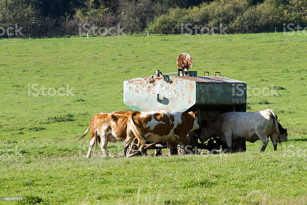 Cow comes to drink water at the drinking tank stock photo