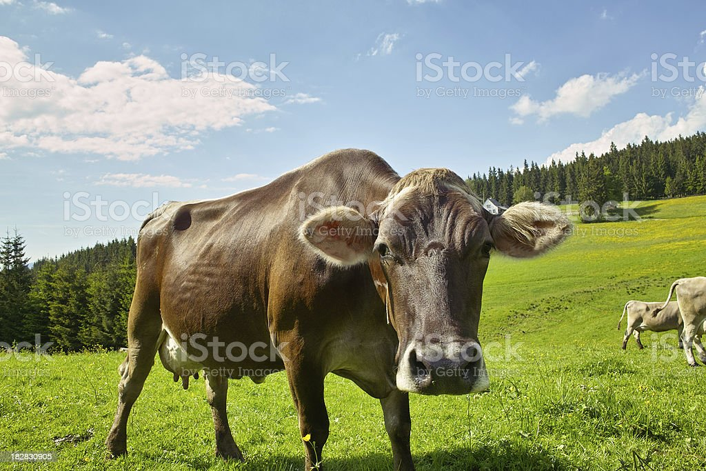 cow - crasy looking to the fotografer royalty-free stock photo
