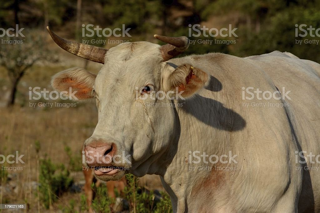 Cow crying royalty-free stock photo
