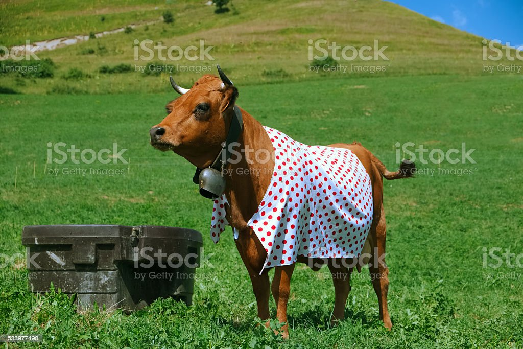 cow dressed in polka dot stock photo