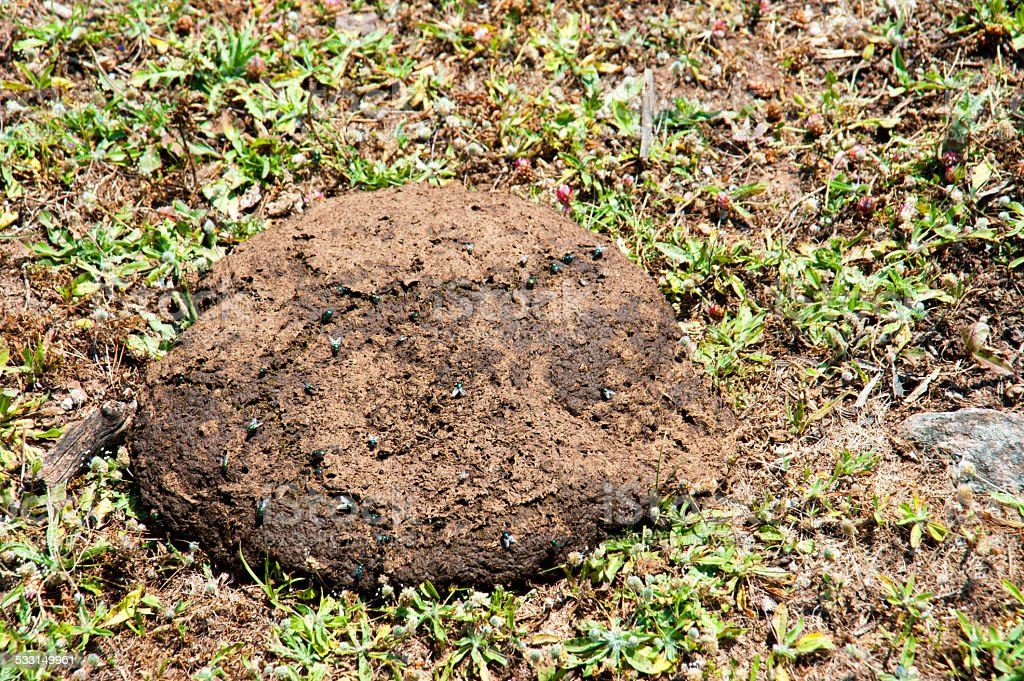 cow dung stock photo
