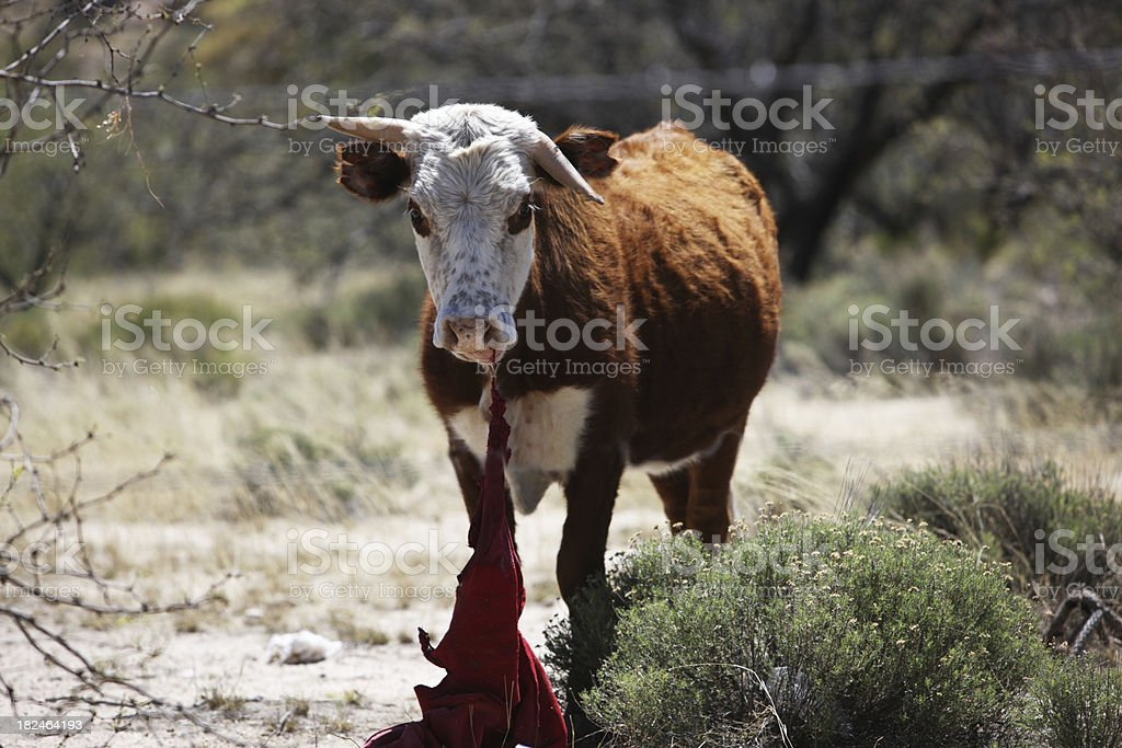 Cow Eating a Shirt royalty-free stock photo