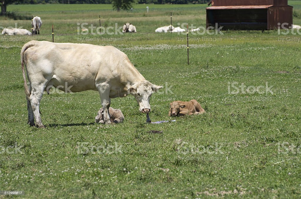 Cow Eating Afterbirth. stock photo