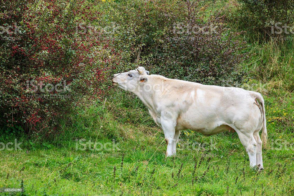 Cow Eating Berries stock photo