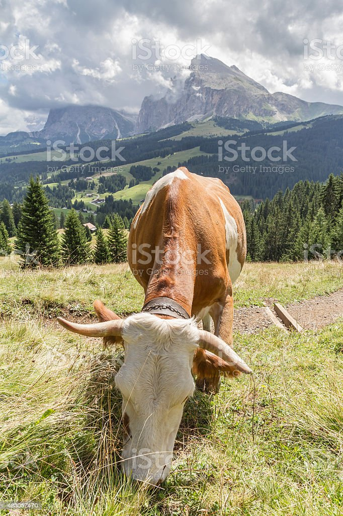 Cow eating grass with Langkofel and Plattkofel in background stock photo