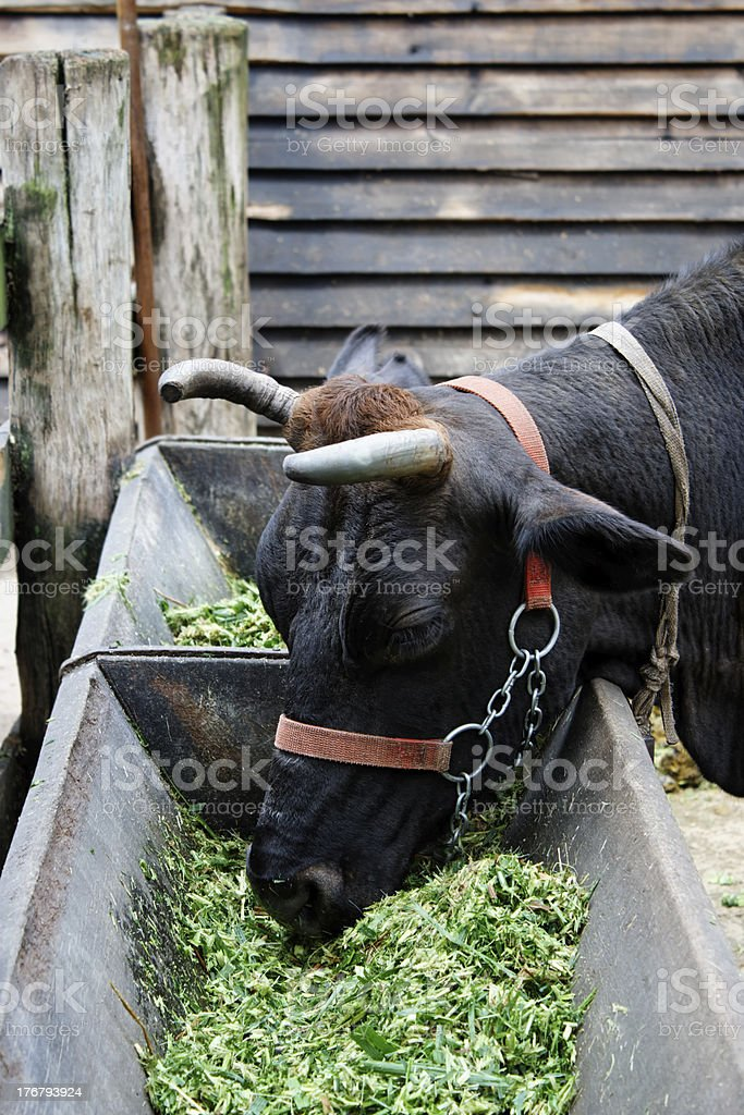 Cow eating royalty-free stock photo