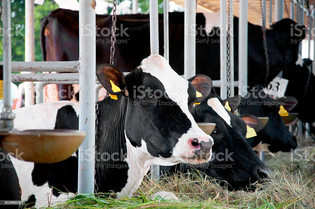 Cow eating stock photo