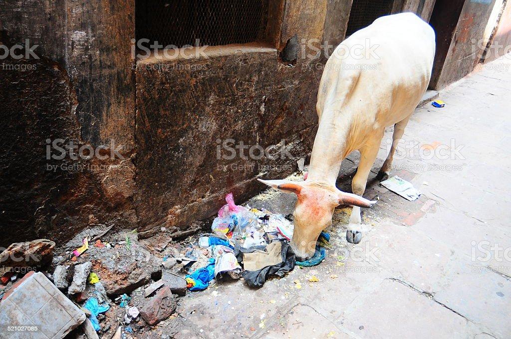 Cow eating plastic stock photo