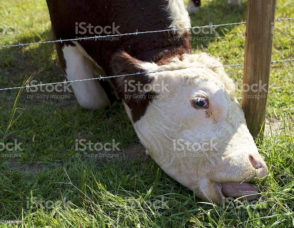 Cow eating where the grass is greener. royalty-free stock photo