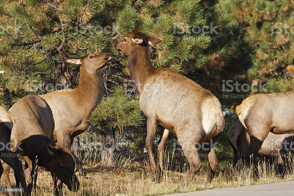 Cow Elk Face Off stock photo