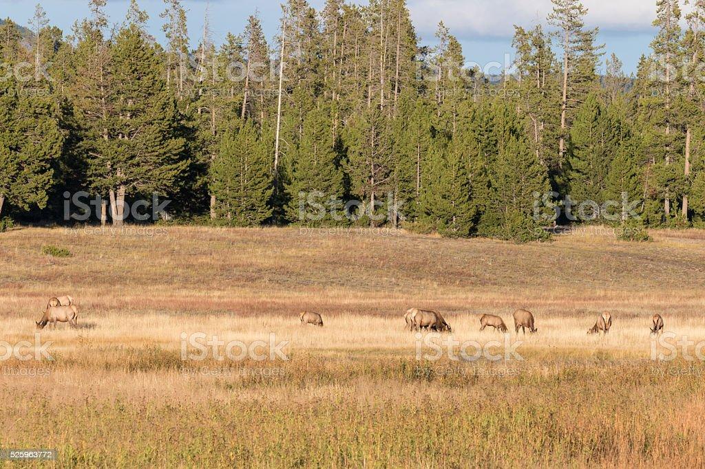 Cow Elk Herd stock photo