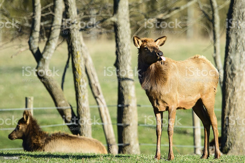 Cow elk sticking her tongue out. royalty-free stock photo