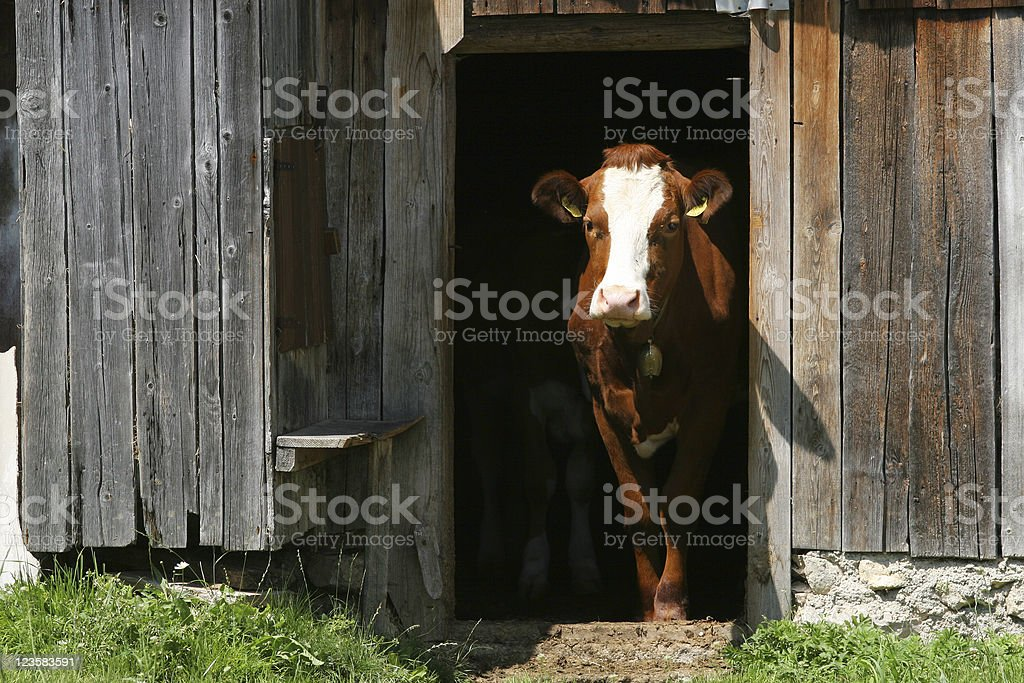 Cow exiting barn royalty-free stock photo