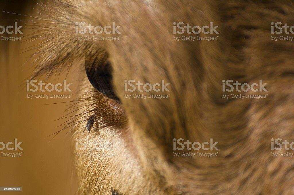 Cow Eye stock photo