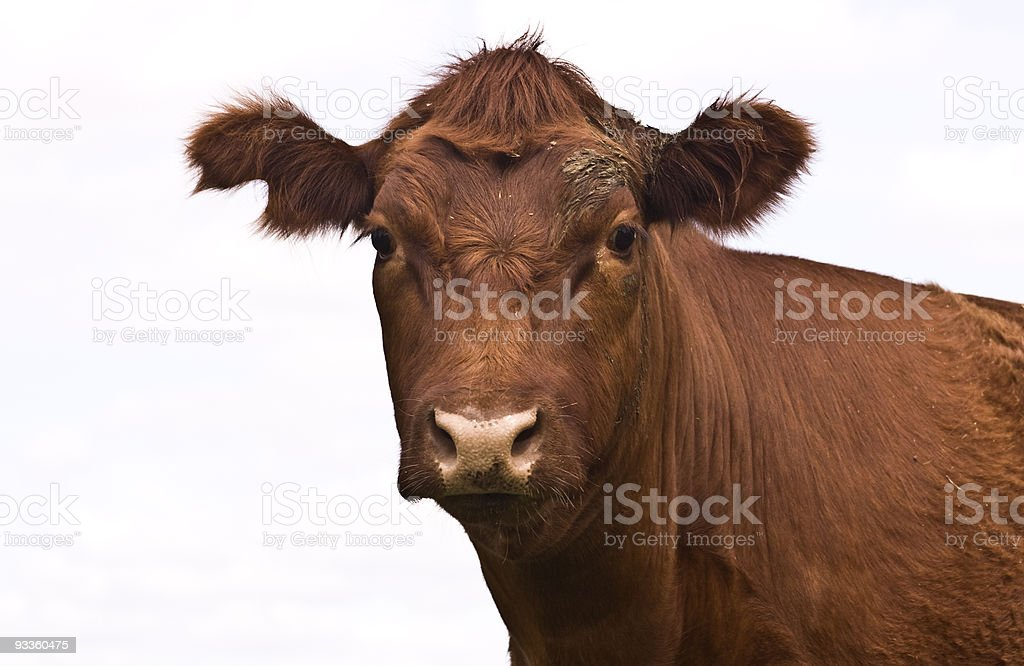 Cow face on white royalty-free stock photo