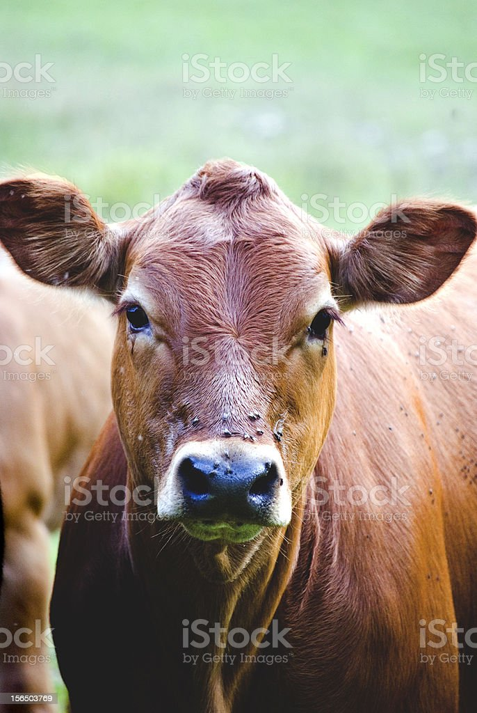 cow face royalty-free stock photo