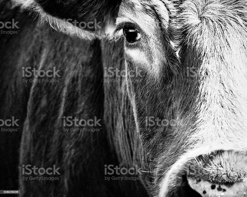 Cow Face Portrait Closeup - Black And White stock photo