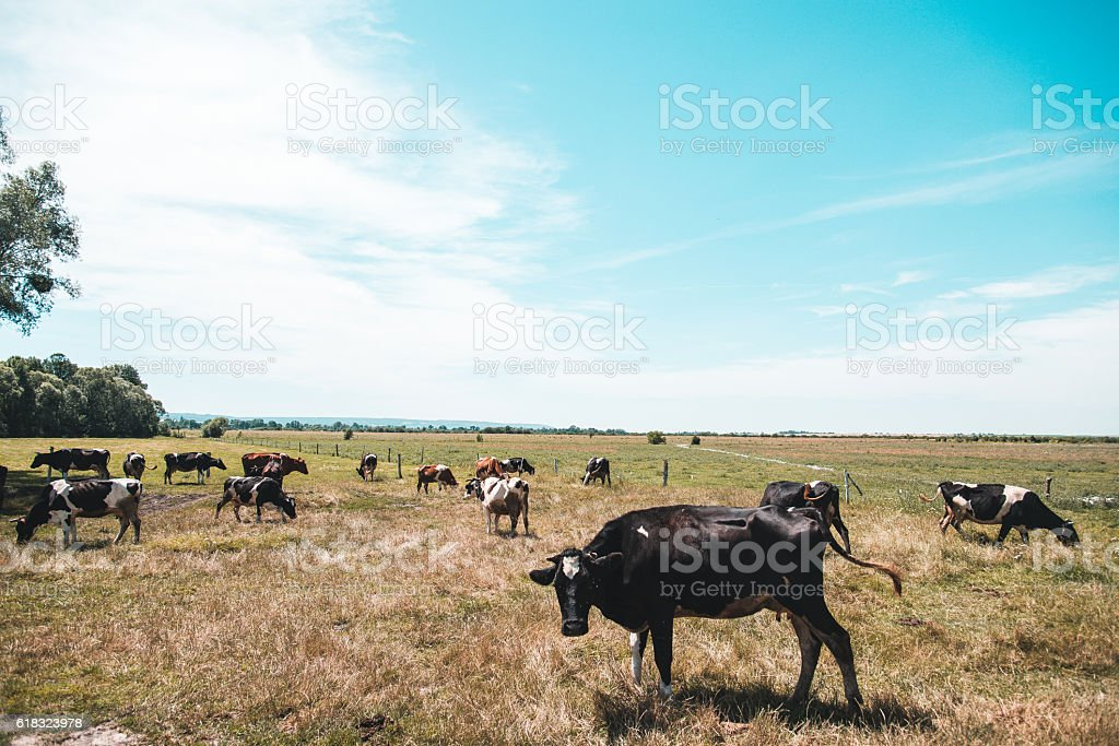 Cow farm. Cow eats grass stock photo