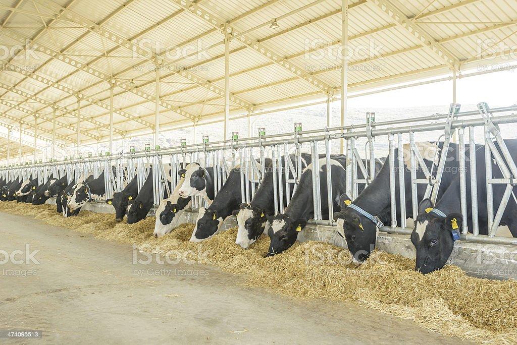 cow farm stock photo