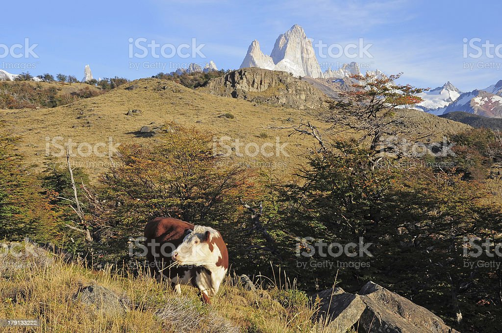 Cow & Fitz Roy mountain. royalty-free stock photo