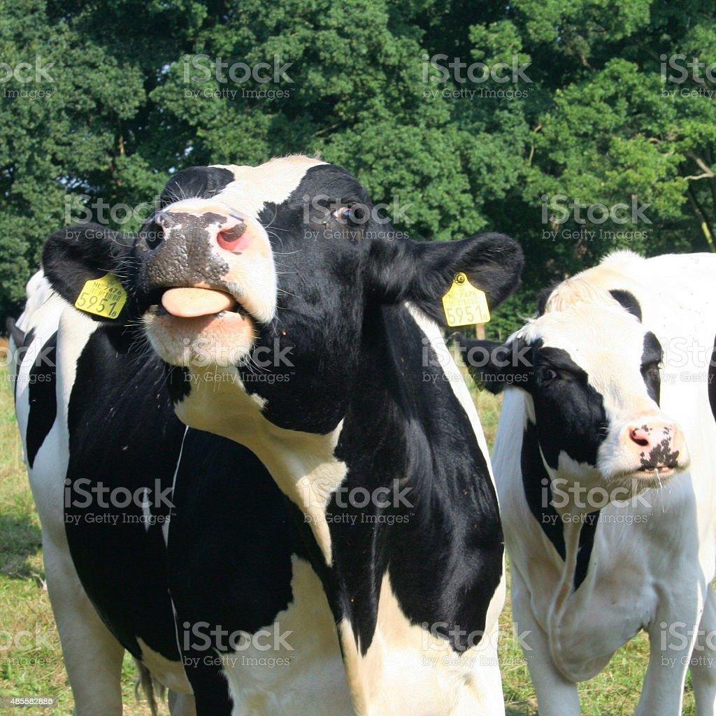Cow Funny stock photo