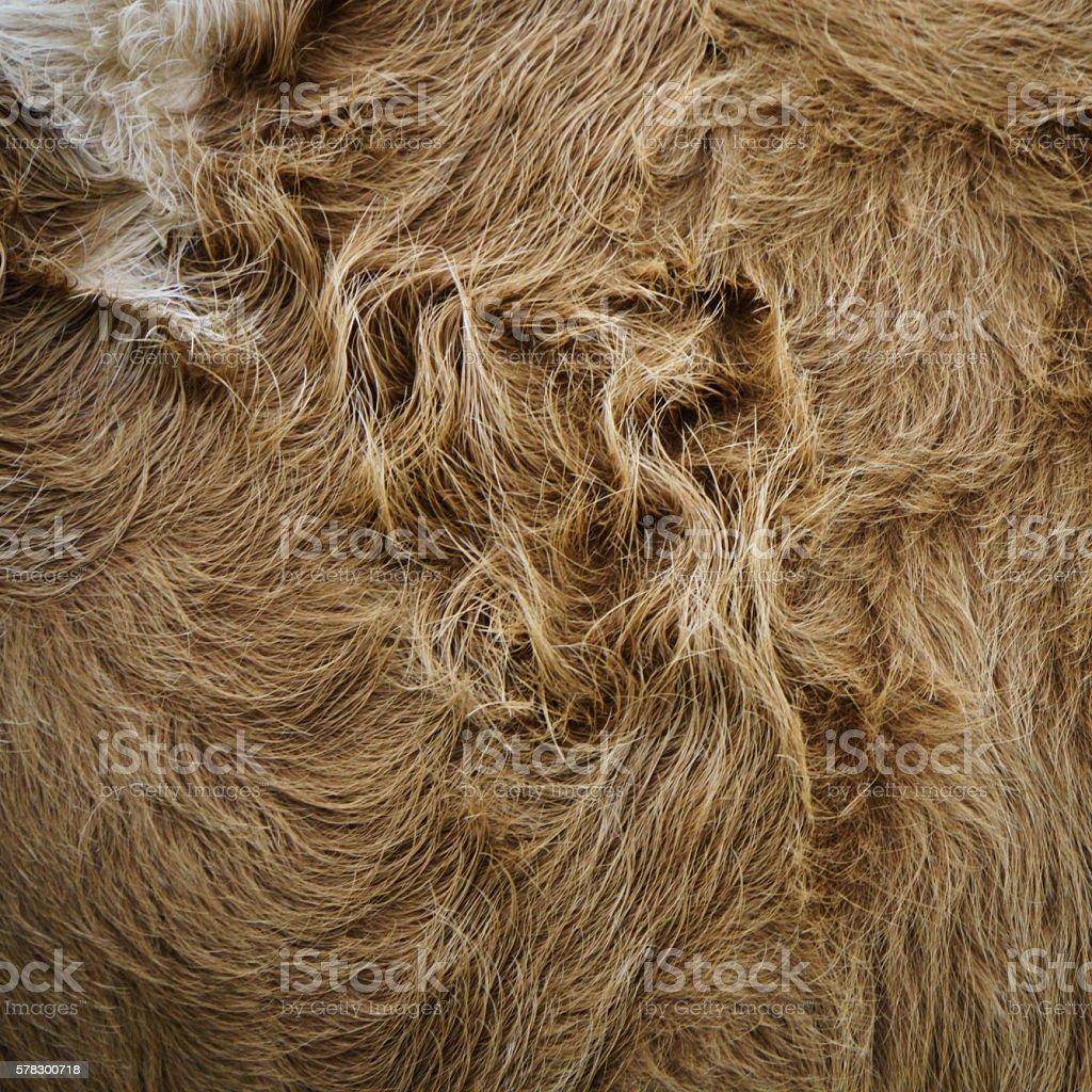 cow fur background stock photo