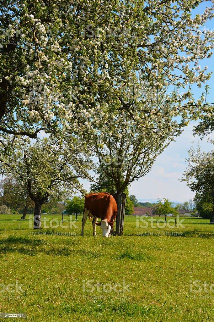 cow grazing among apple trees stock photo