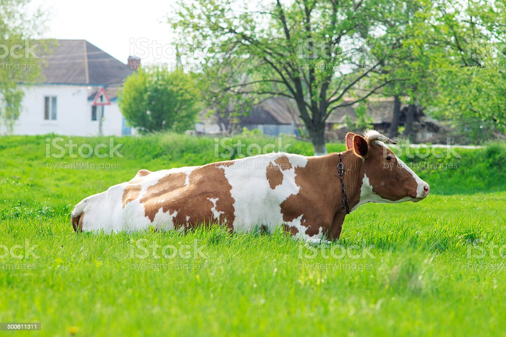Cow grazing at the meadow in countryside stock photo