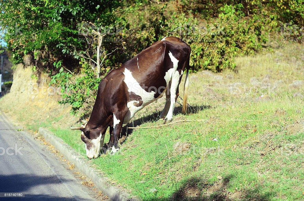 cow grazing by roadside stock photo
